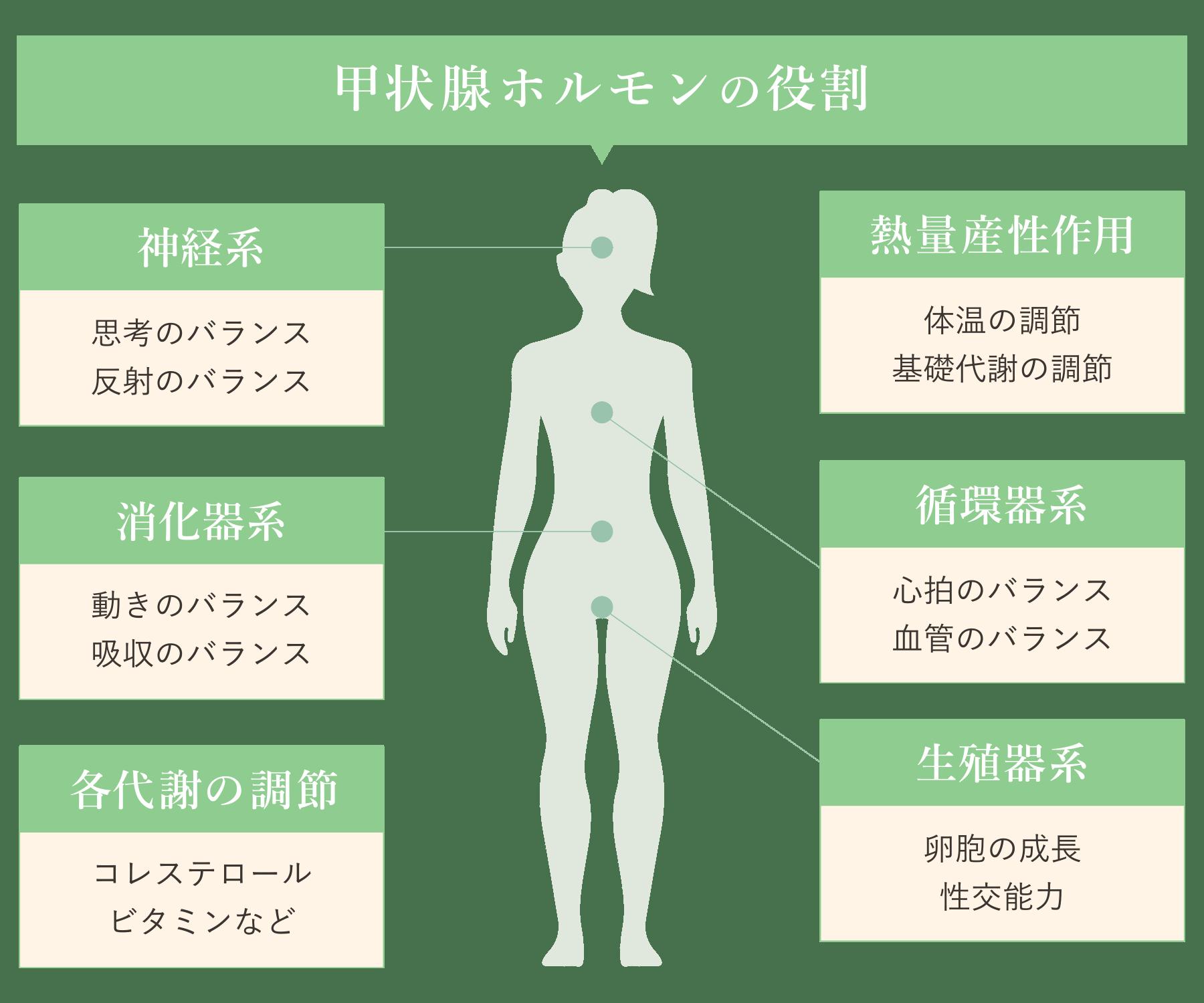 甲状腺ホルモンの役割