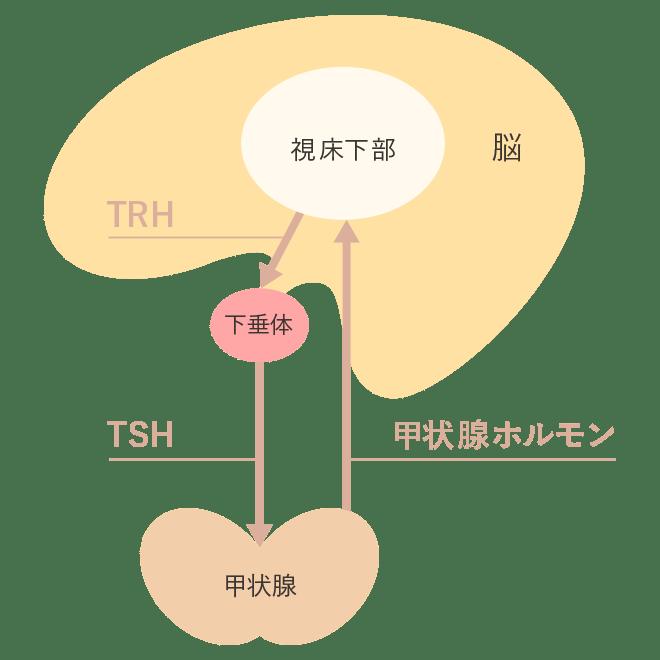甲状腺ホルモンの調節